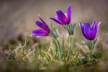 обоя цветы, анемоны,  сон-трава, сон-трава