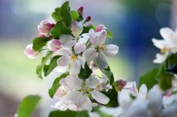 обоя цветы, цветущие деревья ,  кустарники, весна, яблоня, ветка