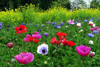 обоя цветы, разные вместе, анемоны, маки
