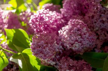 обоя цветы, сирень, макро, весна