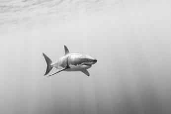 обоя животные, акулы, белая, акула, большая
