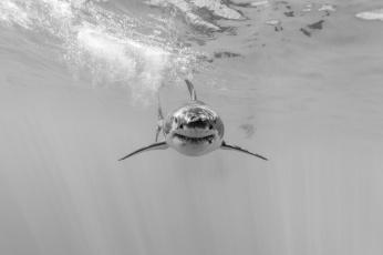 обоя животные, акулы, белая, большая, акула