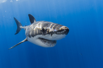Картинка животные акулы рыбка