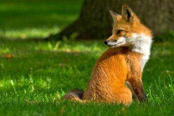 обоя животные, лисы, взгляд, лиса, лес