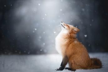 обоя животные, лисы, зима, снег, лиса, лис