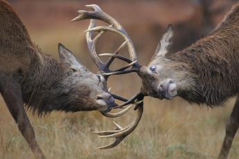 обоя животные, олени, дуэль, природа