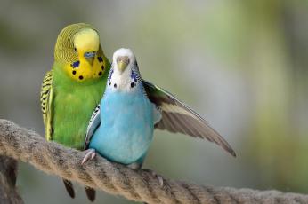 обоя животные, попугаи, нежность, птицы, пара, волнистый, попугай