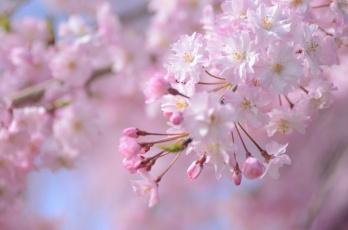 обоя цветы, сакура,  вишня, розовый, ветка, весна