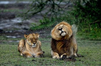 обоя животные, львы, брызги, мокрые, лев, львица, дождь
