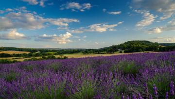 обоя цветы, лаванда, небо, дома, облака, поле, фермы