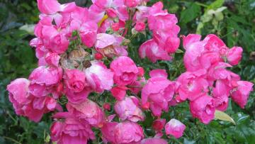 обоя цветы, розы, дождь, капли, куст, розовый