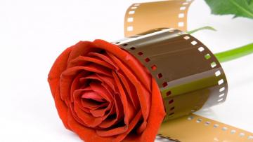 обоя цветы, розы, фотопленка, бутон