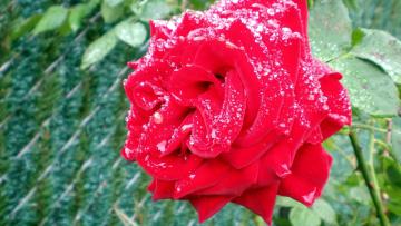 обоя цветы, розы, капли, макро