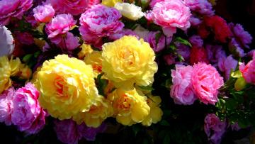 обоя цветы, розы, много