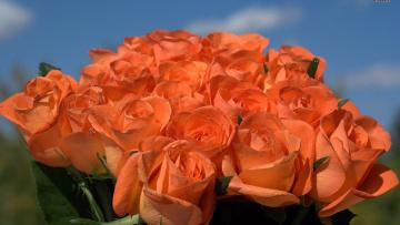 обоя цветы, розы, персиковый, бутоны, много
