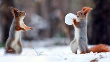 обоя животные, белки, снег