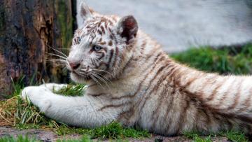 обоя животные, тигры, тигрёнок, тигр, белый, хищник, зверь