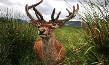 обоя животные, олени, рога, олень, трава