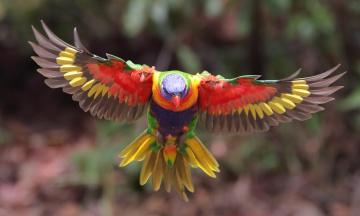 обоя животные, попугаи, расцветка, птица, оперение, боке, попугай, размытие, многоцветный, лорикет, полёт, крылья