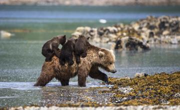 обоя животные, медведи, медведица, медвежата, река, берег