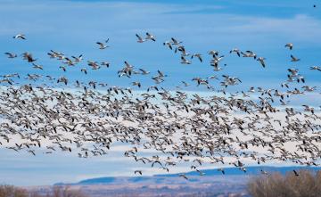 Картинка животные Чайки +бакланы +крачки птицы полет