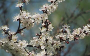 обоя цветы, цветущие деревья ,  кустарники, макро, весна, пирода