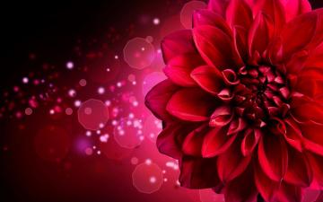 обоя цветы, георгины, красный, георгин, блики