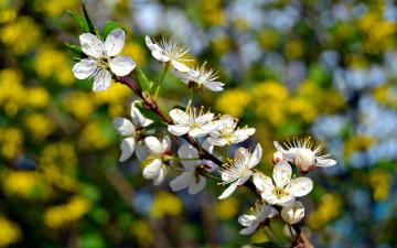обоя цветы, сакура,  вишня, макро, весна, ветка, дерево, цветение