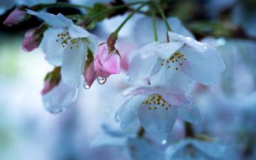 обоя цветы, сакура,  вишня, весна, вишня, макро, капли