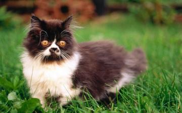 обоя животные, коты, трава, персидский, кошка, кот