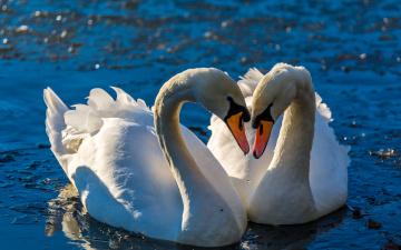 обоя животные, лебеди, поза, сияние, любовь, боке, пара, водоем, вода, птицы