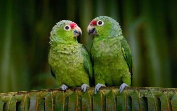 обоя животные, попугаи, эквадор, попугай, краснолобый, амазон, птицы