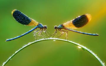 обоя животные, стрекозы, зелёный, фон, мокро, макро, капли, свет