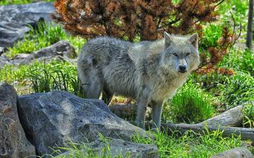 обоя животные, волки,  койоты,  шакалы, камни, трава, белый, волк