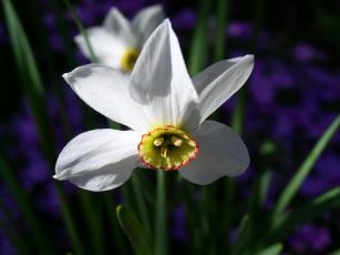 Картинка цветы нарциссы белый