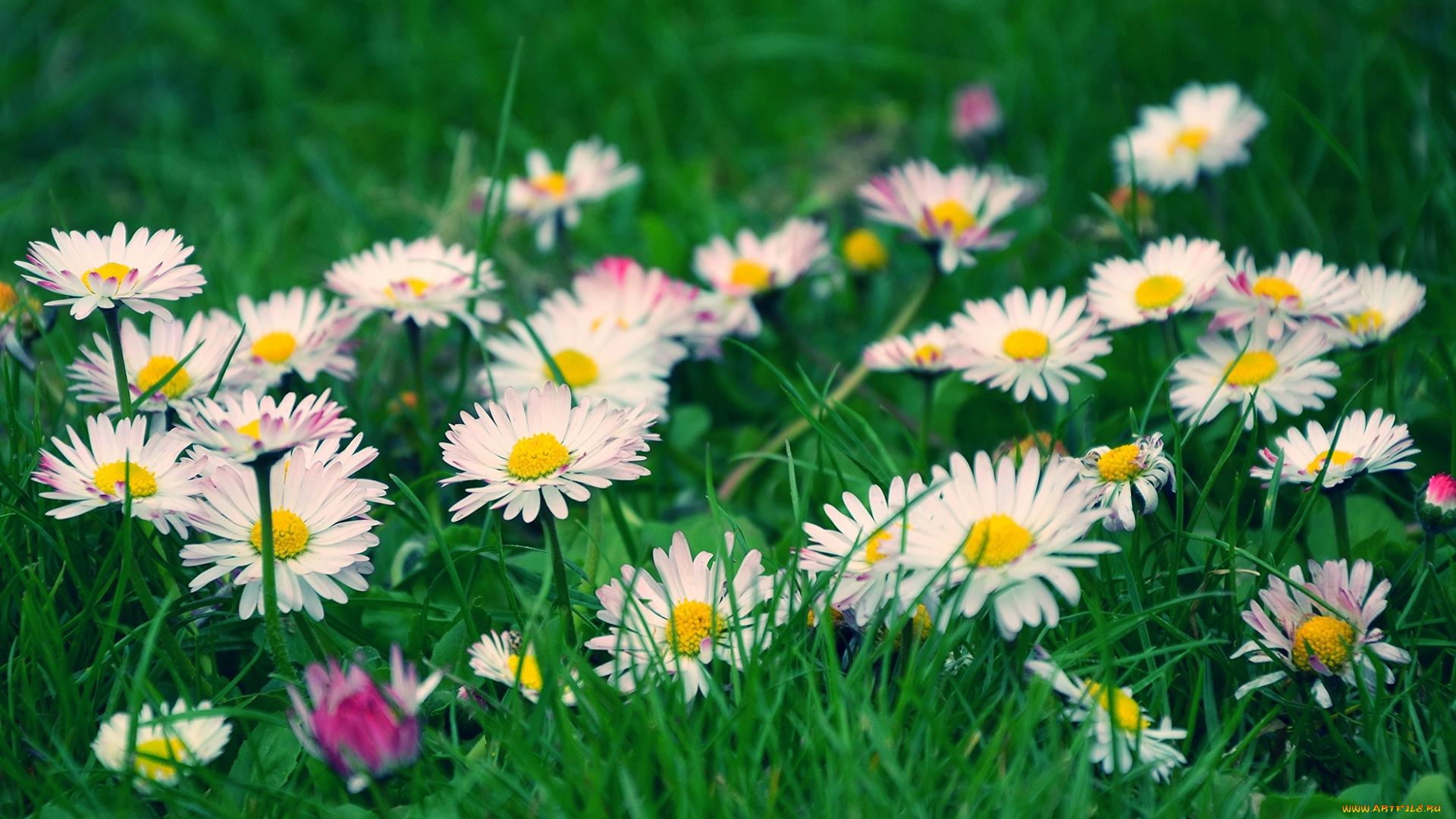 Полевые цветочки скачать