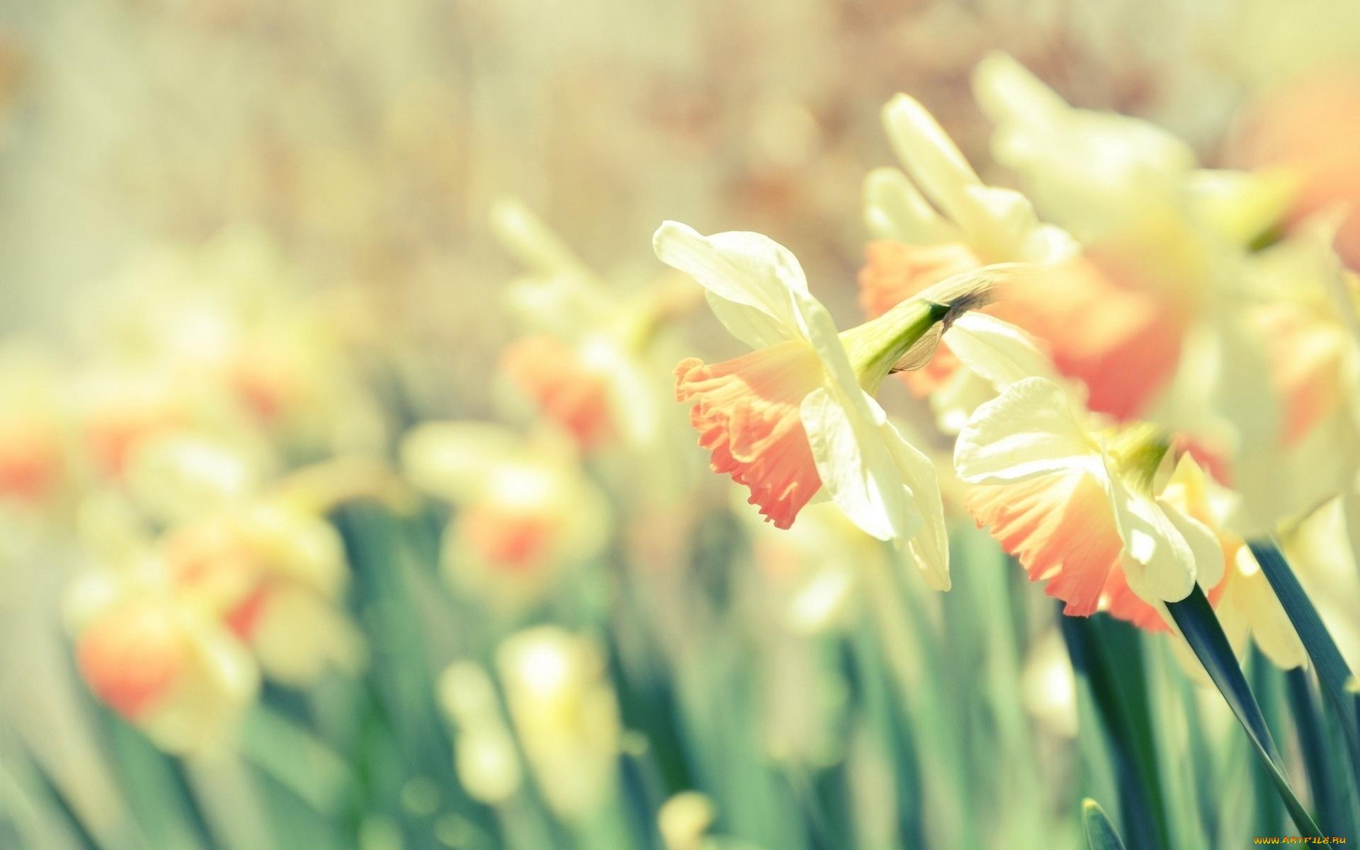 природа цветы желтые нарцисс загрузить