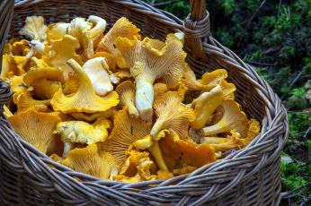 Картинка еда грибы +грибные+блюда лисички