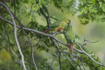 обоя животные, попугаи, изумрудный, попугай, парочка, поцелуй, птицы, ветки