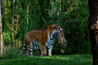обоя животные, тигры, джунгли, тигр
