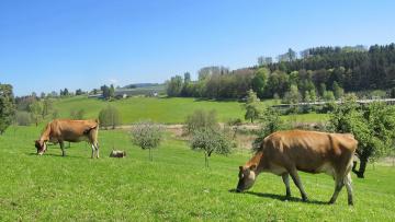 обоя животные, коровы,  буйволы, луг