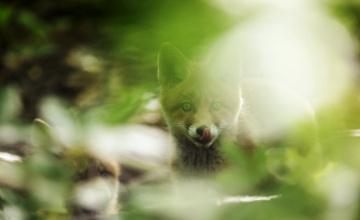 обоя животные, лисы, блики, язык, рыжий, лисенок