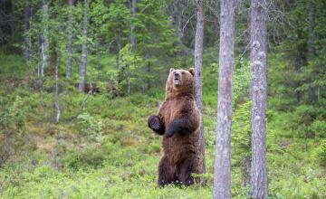 обоя животные, медведи, медведь, лес