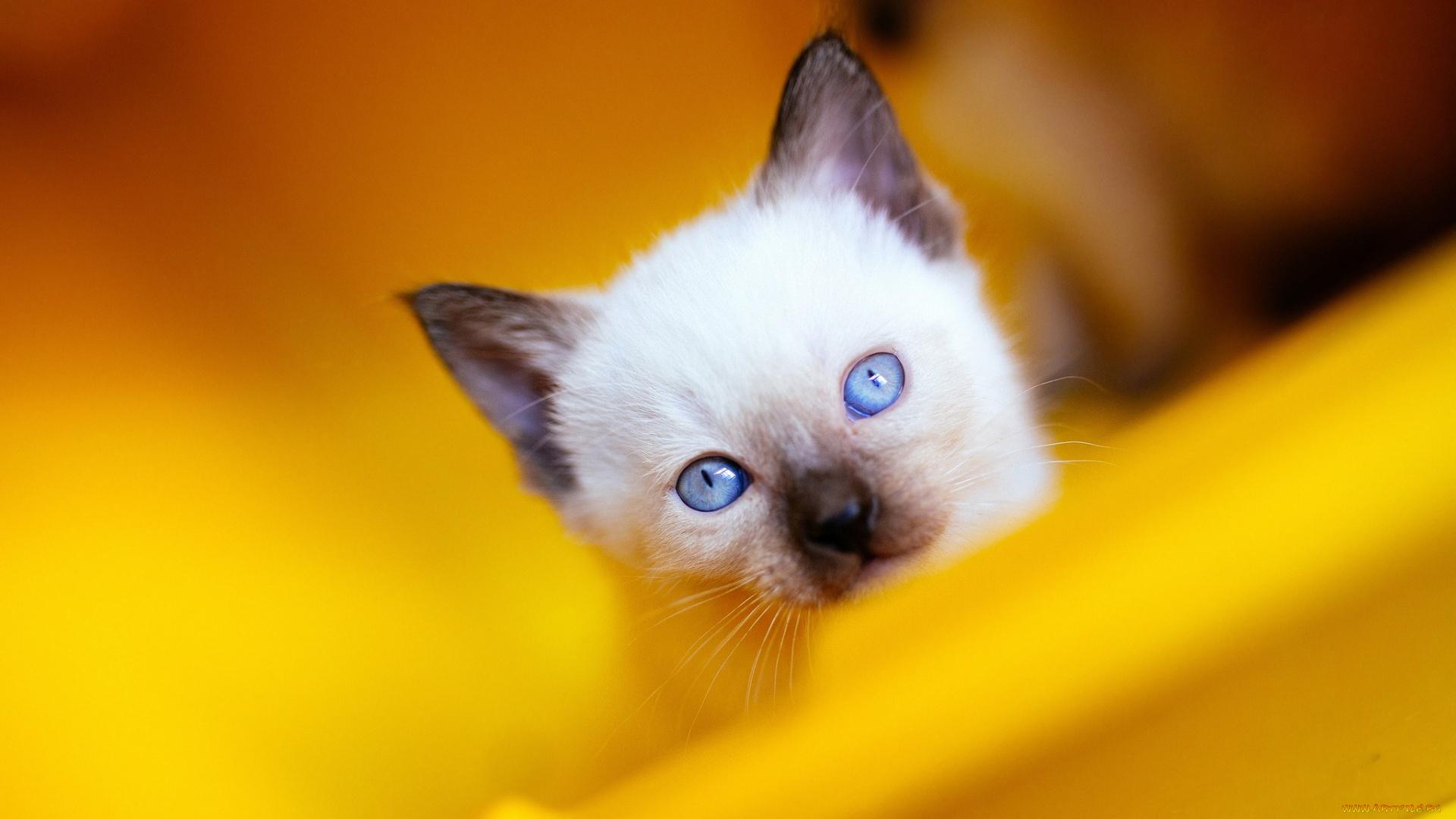 Голубоглазый кот смотреть