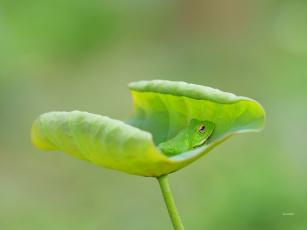 обоя животные, лягушки, лягушка, окрас, лист, фон