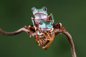 обоя животные, лягушки, боке, фон, взгляд, милашка, лягушка