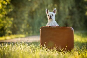 обоя животные, собаки, собака, французский, бульдог, трава, кейс