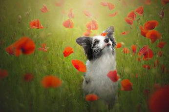 обоя животные, собаки, маки, луг, бордер, колли, собака, настроение, цветы