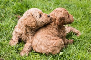 обоя животные, собаки, щенки, порода, малыши