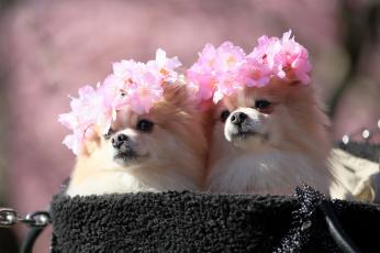обоя животные, собаки, взгляд, окрас, собака, цветы, пара